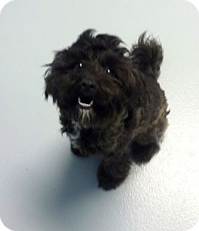 Poodle (Miniature) Mix Puppy for adoption in Muskegon, Michigan - Piper