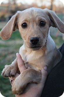 Cavalier King Charles Spaniel/Beagle Mix Puppy for adoption in Hamburg, Pennsylvania - Wiggle Worm
