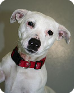 Terrier (Unknown Type, Medium)/Corgi Mix Dog for adoption in Muskegon, Michigan - Isabella