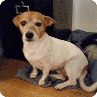 Blue Heeler/Dachshund Mix Dog for adoption in TAHOKA, Texas - LIZZY