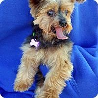 Adopt A Pet :: Dax - Encino, CA
