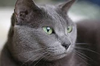 Domestic Shorthair Cat for adoption in Fishers, Indiana - Garbo