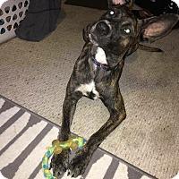Belgian Malinois/German Shepherd Dog Mix Dog for adoption in Brick, New Jersey - Twiggy