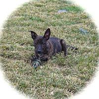 Adopt A Pet :: Sapphire - Ijamsville, MD