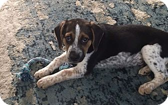 Great Pyrenees/Hound (Unknown Type) Mix Puppy for adoption in Lima, Pennsylvania - Benny