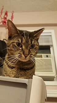Domestic Shorthair Cat for adoption in Burlington, North Carolina - EVE