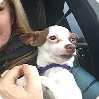 Adopt A Pet :: Tweek - Las Vegas, NV
