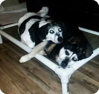 Shepherd (Unknown Type)/Blue Heeler Mix Dog for adoption in Westport, Connecticut - Amber