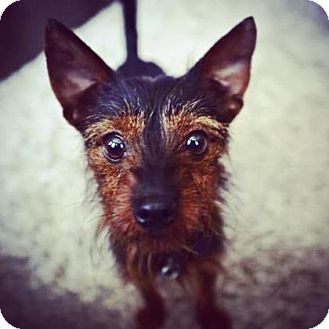 Yorkie, Yorkshire Terrier/Fox Terrier (Wirehaired) Mix Dog for adoption in Santa Fe, Texas - Terra