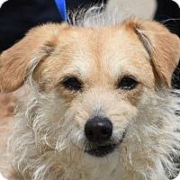Adopt A Pet :: AMANDA - New Haven, CT