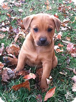 Boxer Mix Puppy for adoption in Chattanooga, Tennessee - Apple