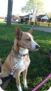 Podengo Portugueso Mix Dog for adoption in Northumberland, Ontario - Zeus
