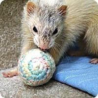 Adopt A Pet :: Ginger Snap - Acworth, GA