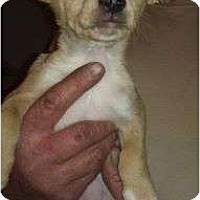 Adopt A Pet :: Frank James - pearl pup - Phoenix, AZ