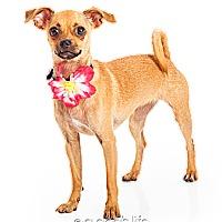 Adopt A Pet :: Cindy - Scottsdale, AZ