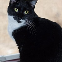 Domestic Shorthair Cat for adoption in New Martinsville, West Virginia - Ethel