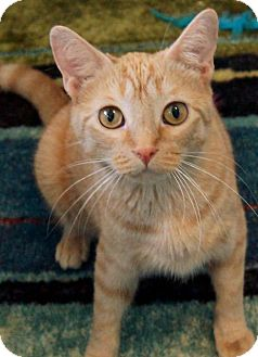 Domestic Shorthair Cat for adoption in Wauconda, Illinois - Shadow