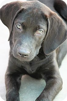Labrador Retriever Mix Puppy for adoption in Jewett City, Connecticut - Liam