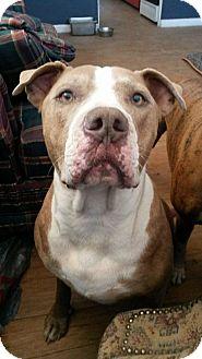 Pit Bull Terrier Mix Dog for adoption in Tucson, Arizona - Kino