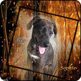 Labrador Retriever/Terrier (Unknown Type, Medium) Mix Dog for adoption in Crowley, Louisiana - Sophie