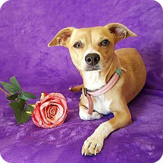 Italian Greyhound/Chihuahua Mix Dog for adoption in Yucaipa, California - Gracie