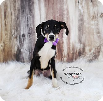 Border Collie/Schnauzer (Miniature) Mix Puppy for adoption in Lubbock, Texas - Lucky