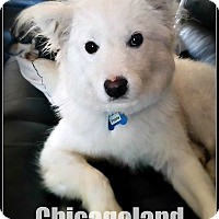 Spitz (Unknown Type, Medium) Mix Puppy for adoption in Elmhurst, Illinois - Frosty
