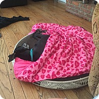 Greyhound Dog for adoption in Aurora, Ohio - Brad (Hopper)