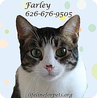 Domestic Shorthair Cat for adoption in Monrovia, California - FARLEY Mowcat