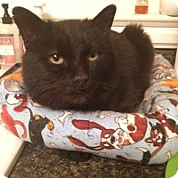 Domestic Shorthair Cat for adoption in Wythe County, Virginia - Selma Mewek