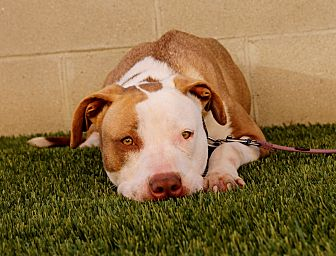 Labrador Retriever/American Pit Bull Terrier Mix Dog for adoption in Inglewood, California - Anna Rose