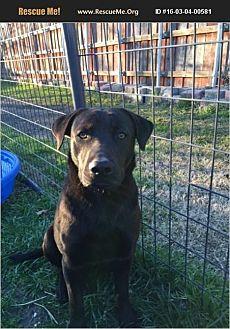 Labrador Retriever Mix Dog for adoption in Plano, Texas - Harley