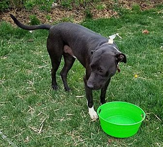 Labrador Retriever/Pit Bull Terrier Mix Dog for adoption in Wood Dale, Illinois - Jake