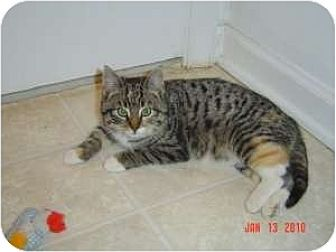 Domestic Shorthair Cat for adoption in Medford, New Jersey - Bunny