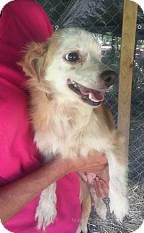 Chihuahua Mix Dog for adoption in Chicopee, Massachusetts - Laura