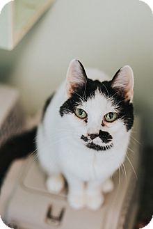 Domestic Shorthair Cat for adoption in Indianapolis, Indiana - Doodles