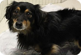 Dachshund Dog for adoption in Sacramento, California - Leon