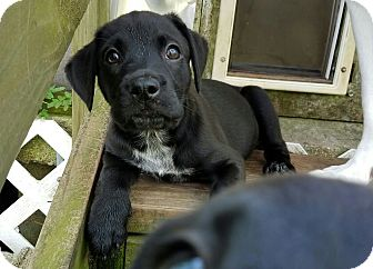 Labrador Retriever Mix Puppy for adoption in Groton, Massachusetts - Mazie