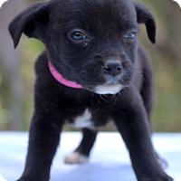Adopt A Pet :: Ghana - Waldorf, MD