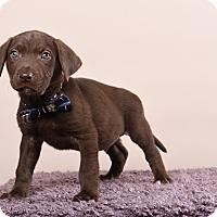 Adopt A Pet :: Prometheus - Houston, TX