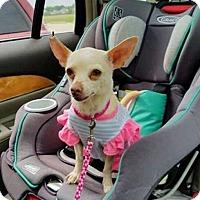 Adopt A Pet :: Tiny Tina - Dallas, TX
