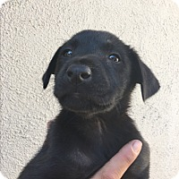 Adopt A Pet :: Cloe - LAKEWOOD, CA
