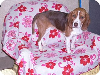 """Beagle Dog for adoption in New Castle, Pennsylvania - """" Cookie """""""