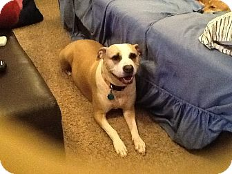 Labrador Retriever/Pit Bull Terrier Mix Dog for adoption in Prole, Iowa - Bella