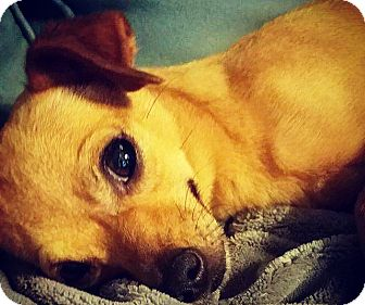 Chihuahua Mix Dog for adoption in Grand Bay, Alabama - Taja