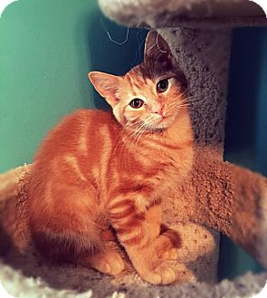 Domestic Shorthair Kitten for adoption in Charlotte, North Carolina - A..  Whitney
