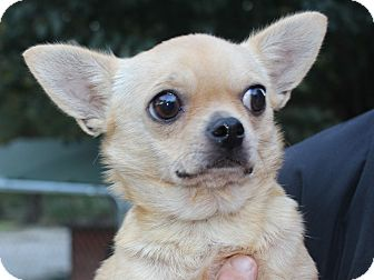 Chihuahua Mix Dog for adoption in Daleville, Alabama - Chicka