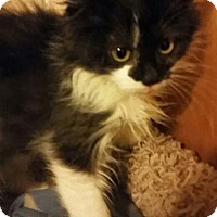 Domestic Longhair Kitten for adoption in Columbus, Ohio - Mt. Valhalla