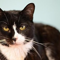 Domestic Shorthair Cat for adoption in Atlanta, Georgia - Luna Belle  160422