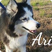 Adopt A Pet :: Ariel - Clearwater, FL